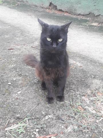 Doação desse lindo gato preto.