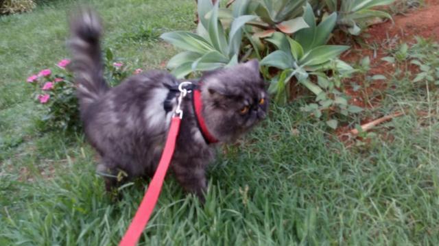 Gato persa show