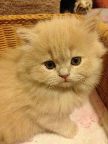 Persa filhotes padrao show espetaculares, muito carinhosos e