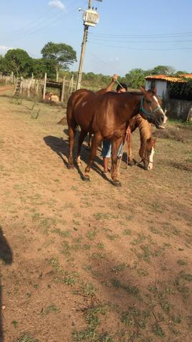Cavalos de vaquejada