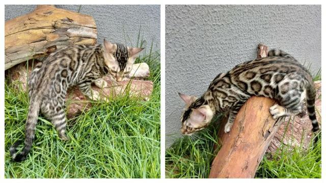 Filhote de gato bengal