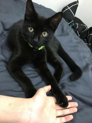 Gato joven - doação