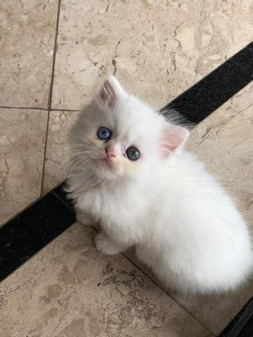 Gato persa com um olho ímpar