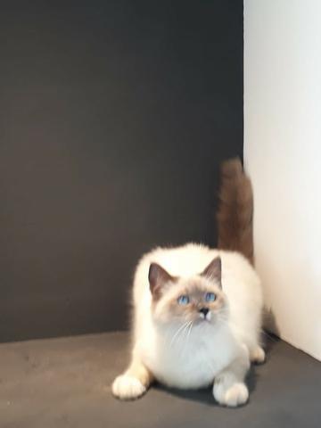 Gatos de luxo ragdoll à venda