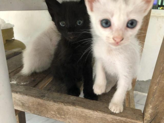 Gatos machos para doação! um branco e um preto