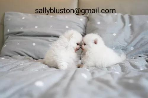 Hermosos cachorros de pomerania macho y h