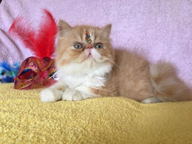 Lindos filhotes de persa com pedigree do gatil império dos