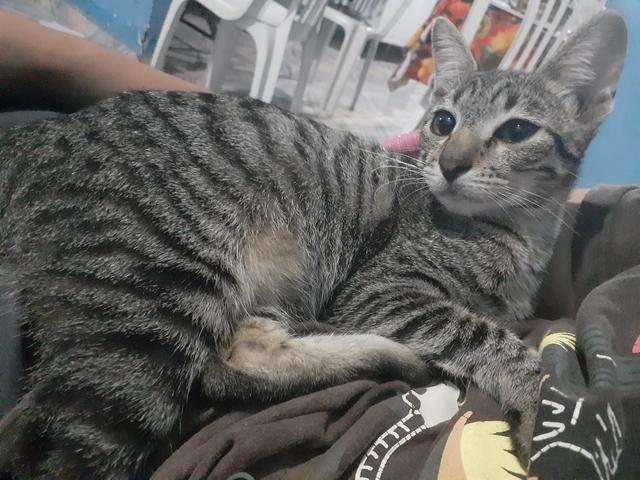 Lindos gatas, uma filhote de 7 meses ê aoutra siamês