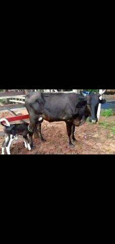 Vaca novilha primeira cria 8 litros leite bezerra girolanda