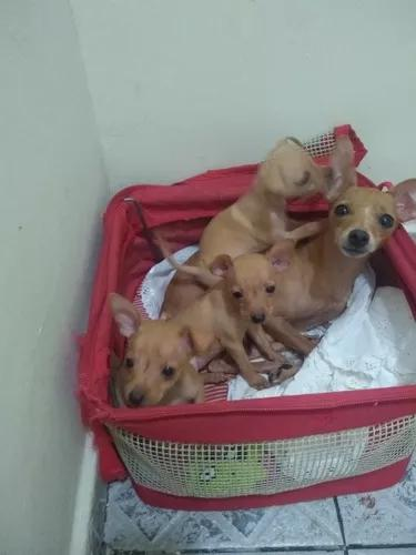 Vende-se cachorros pinscher