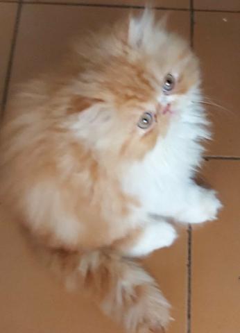 Vende-se lindos filhotes de gato persa fêmeas