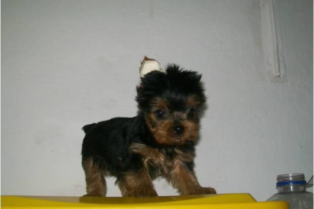 Yorkshire terrier - canil chemp's dog