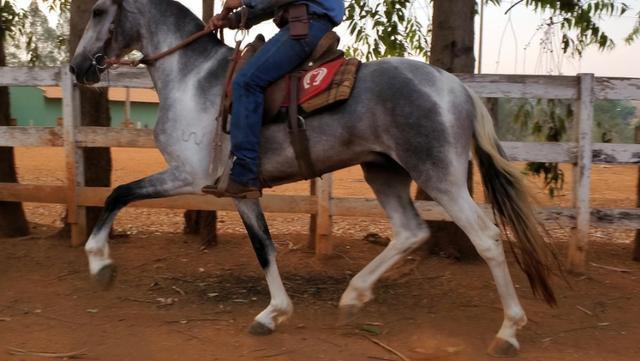 Cavalo mangalarga marchador ogar