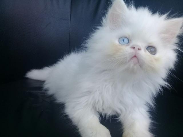 Filhote persa macho