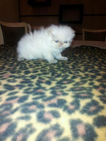 Gatinho persa, branco/olhos azuis