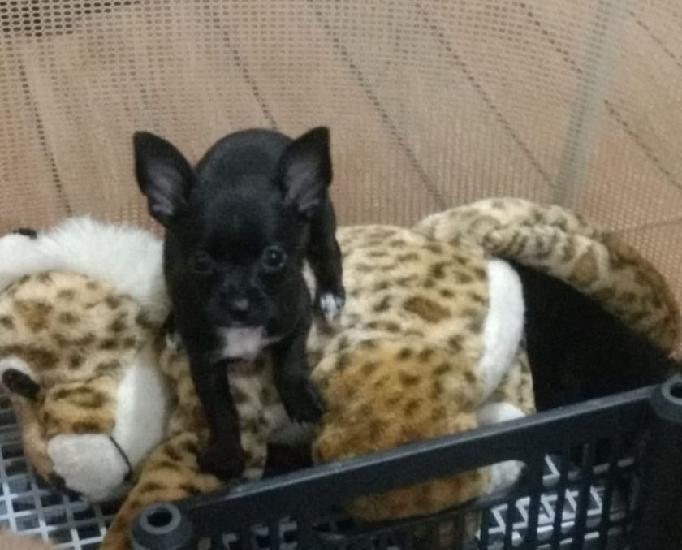 Linda fêmea negra de chihuahua micro