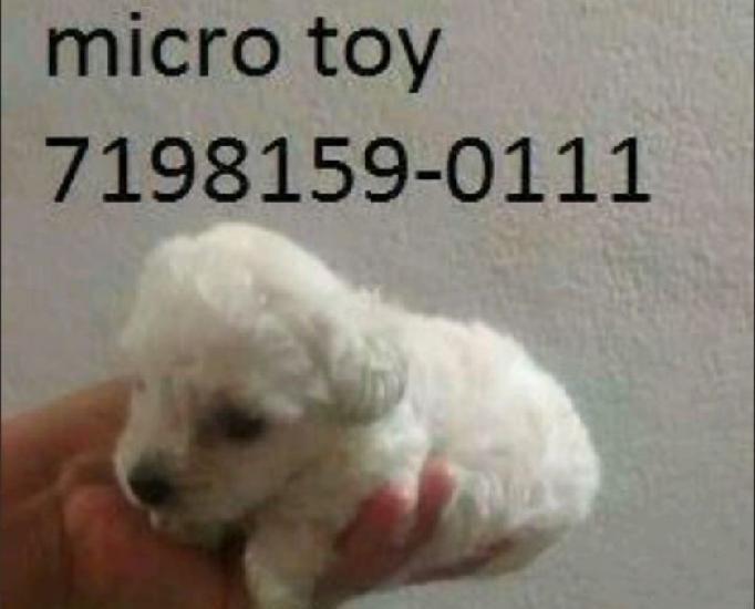 Poodle micro toy macho 6x sj entregamos a domicílio