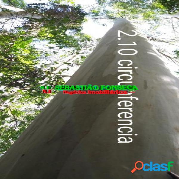 Floresta de eucalipto com mais de 20 anos, vale do paraíba