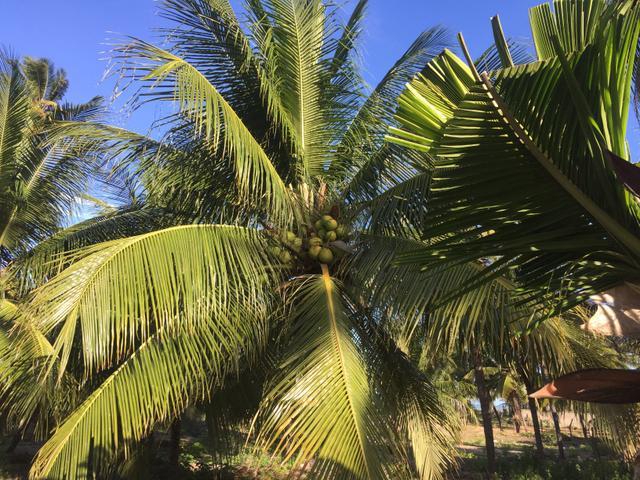 Mudas de coco verde anão -