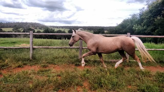 Cavalo baio amarilho/palomino