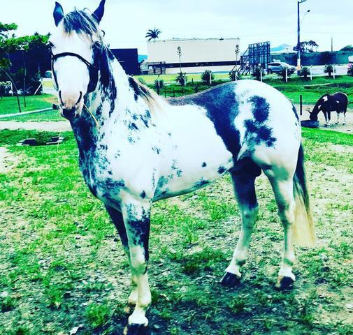 Cavalos criolo business em balneário camboriú sc