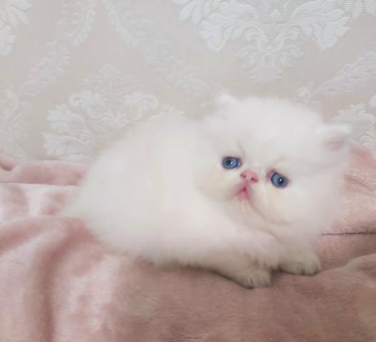 Filhote persa branco