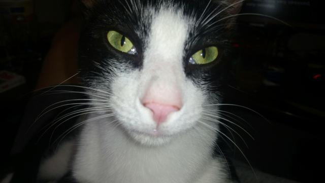 Gato macho castrado para doação