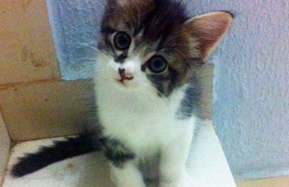 Lindo gatinho para doação - macho 55 dias