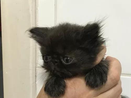 Filhote de persa - fêmea - black - 2 meses-c/registro