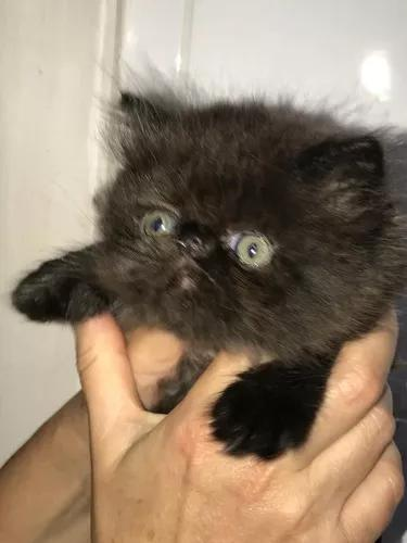 Filhote de persa - macho - black - 2 meses-cregistro
