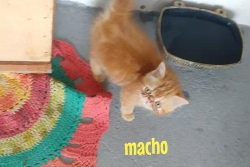 Gato persa exótico macho