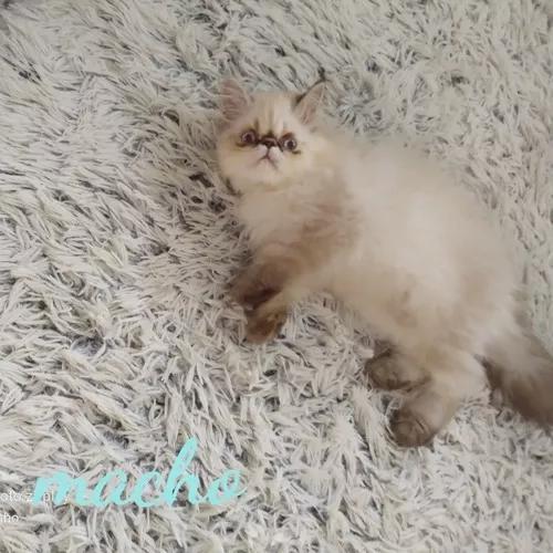 Gato persa himalaio macho