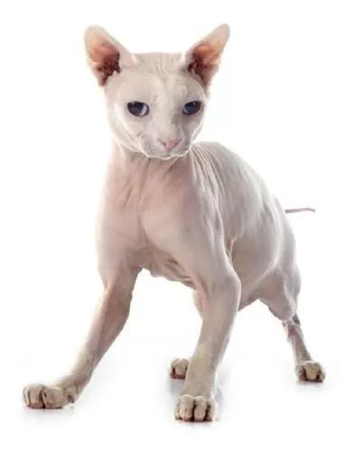 Gato sphynx filhote fêmea com pedigree pronta entrega