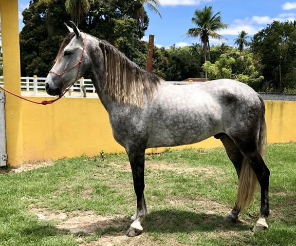 Cavalo m. marchador registrado!