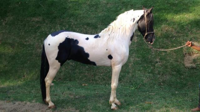 Cavalo pampa manga larga machador