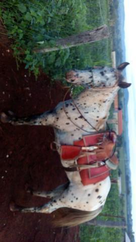 Cavalo pelagem persa