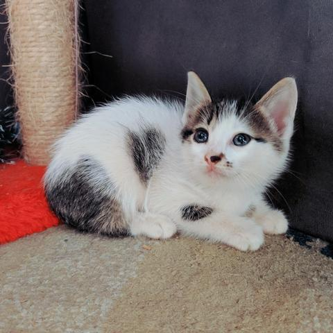 Doação gato macho 7 semanas
