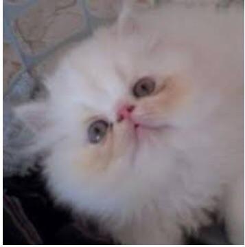 Filhote fêmea de gatos persas top show com pedigree