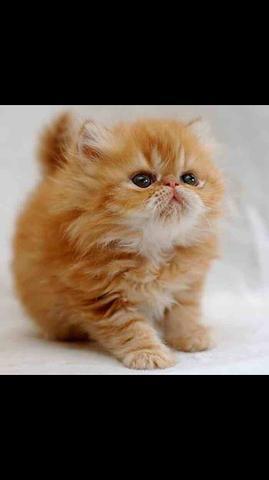 Filhotinho macho de gatos persas top show com pedigree