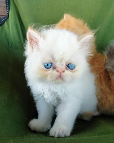 Persa macho olhos azuis