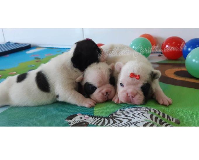 Lindos filhotes de bulldog francês - criação profissional