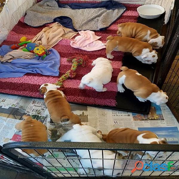 Incríveis e adoráveis filhotes de bulldog inglês apenas por amor.