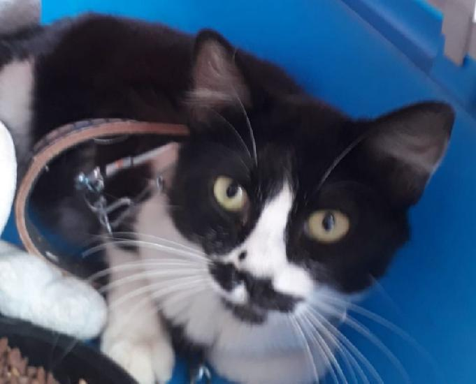 Doação de gato preto e branco olhos verdes femêa