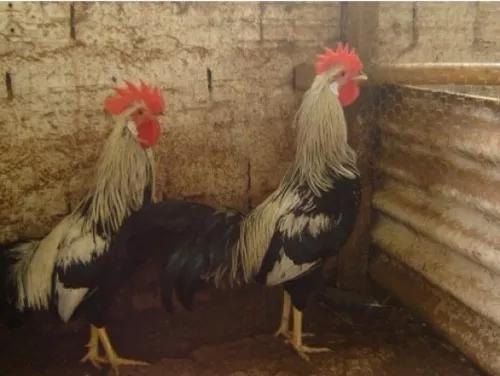 Ovos galados melhores raças para produção de ovos