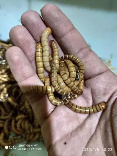 Tenébrios gigantes 100 larvas vivas + brinde