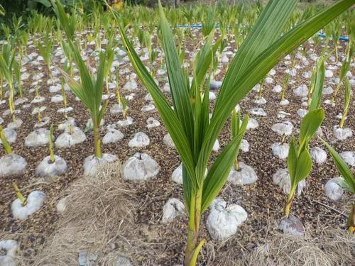 10 mudas coco anão verde 70 cm viveiro certificado