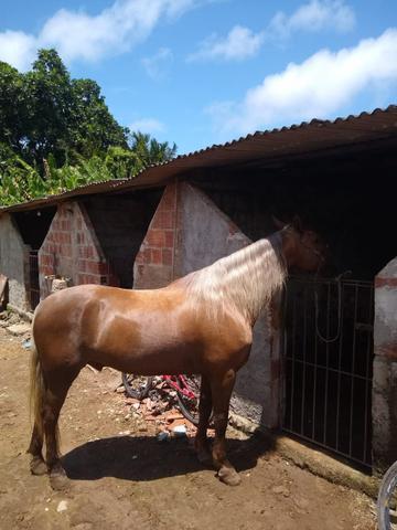 Cavalo mangolino marchador.