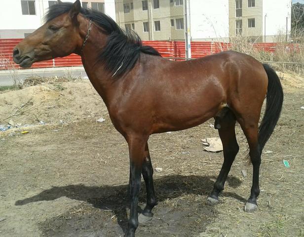 Cavalo mistiço