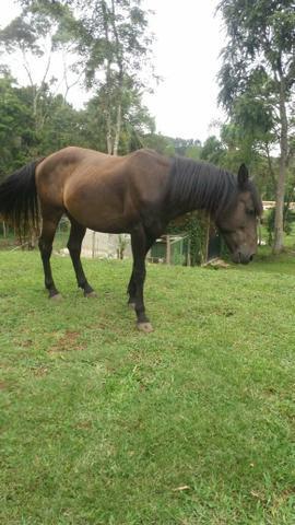 Cavalo castrado, manso, bom para pasto e montaria