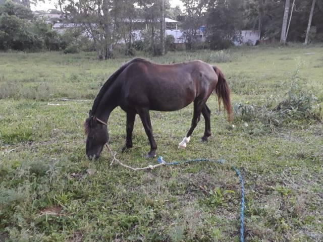 Cavalo manso bom de montaria